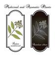 indian sandalwood santalum album medicinal plant vector image vector image