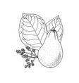 monochrome drawing of avocado vector image