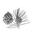 pinus sylvestris tree branch pine and cones in vector image vector image