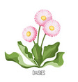 daisy flower with green leaves closeup realistic vector image