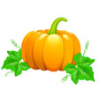 beautiful ripe orange pumpkin vector image vector image