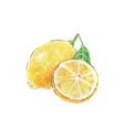 two yellow lemons watercolor vector image vector image