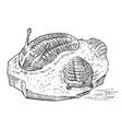 preserved trilobite specimen fragment fossil vector image