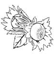 Hazelnuts vector image
