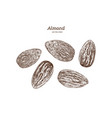 ink sketch of almond hand drawn vector image