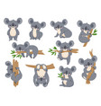 cute cartoon koala lazy koalas with eucalyptus vector image