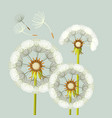 blowing dandelion flower with fragile flying parts vector image vector image