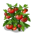 Planting and cultivation of tomato vector image vector image