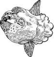 moonfish or molamola fish - ink drawing vector image