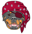 dog rottweiler pirate vector image