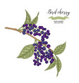 ripe bird cherry branch isolated on white vector image vector image
