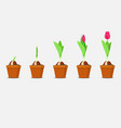 tulip growth stage planting and growing tulips vector image vector image