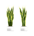 spotted plant sansevieria in a white pot vector image vector image
