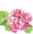 Delicate Pink geranium flowers vector image vector image