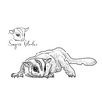 Drawing of sugar glider on white background vector image vector image