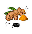 Turmeric root hand drawn