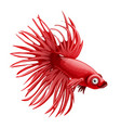 cartoon red betta fish siamese fighting fish vector image vector image