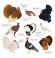 poultry farming turkey breeds icon set flat design vector image vector image