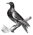 Wood Pigeon vintage engraving vector image vector image