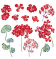 collection geranium flowers for design in red vector image vector image