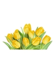 Yellow Tulips Flowers EPS 10 vector image vector image