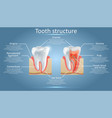dental anatomy and tooth structure diagram vector image vector image