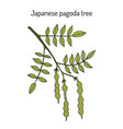 japanese pagoda tree styphnolobium japonicum or vector image vector image