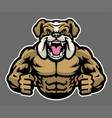 muscle angry bulldog vector image