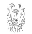 dandelion flowers vector image