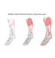 medical oblique bottom view foot achilles vector image vector image