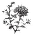 Phlox drummondii vintage engraving vector image vector image