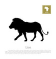 black lion silhouette on white background vector image vector image