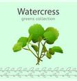 watercress vector image vector image