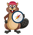 beaver with compas on white background vector image vector image