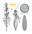 maize hand drawn vector image vector image