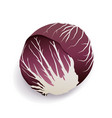 red chicory or radicchio on white background vector image vector image