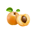 Apricot with green leaves vector image
