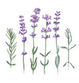 hand drawn lavender flowers and branches vector image