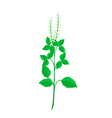 A Fresh Holy Basil Plant on White Background vector image vector image