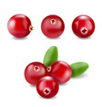 cranberry realistic ilustration vector image