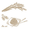 rise set hand drawn rice plant vector image