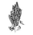 hand drawn monochrome quinoa plant vector image