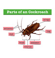 Diagram showing parts of cockroach vector image vector image