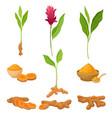 different parts asian curcuma plant