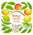 mango plant elements on white background vector image