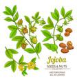 jojoba plant set on white background vector image vector image