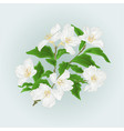 flower jasmine branch isolated on blue background vector image vector image