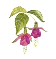 Branch of pink fuchsia vector image vector image