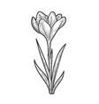 crocus flower sketch vector image