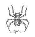 black widow spider sketchhand drawn halloween bug vector image vector image